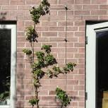 Garden Wire Trellis System on Brick Wall